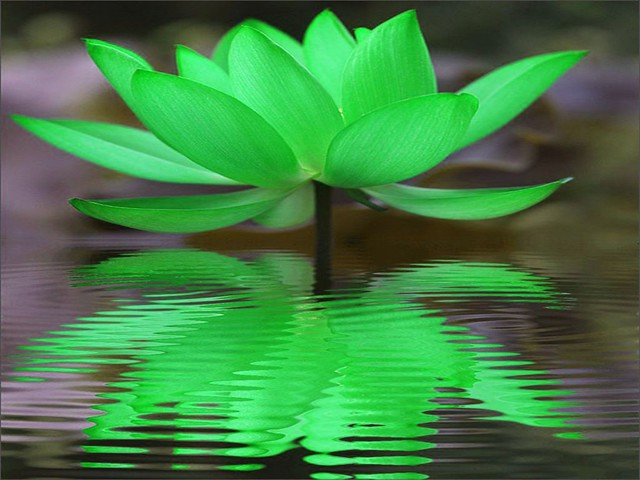 App Screen Green Lotus Reflection | Flickr - Photo Sharing!