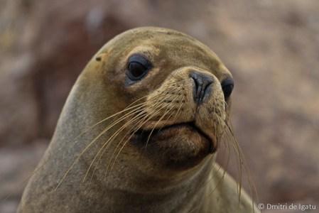 Lobo Marinho, Paracas - Peru