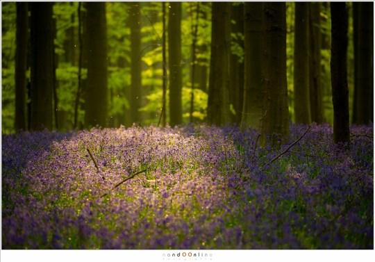 De hyacinten kleuren donker paars/blauw in de schaduw, en lichtpaars in het licht. Zon en wolken zorgen voor een mooi lichtspel