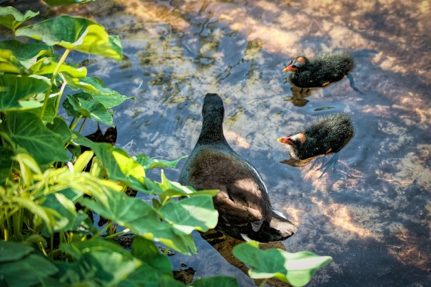 Common Gallinule Mom and Chicks