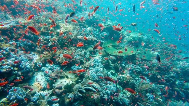 Millions of red fish. Batu Balong, Komodo