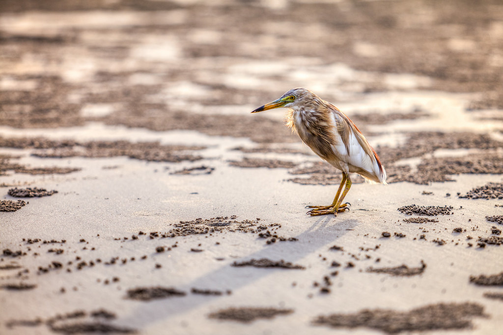 A Pond Heron at the Ashwem Beach