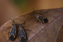 Eastern Box Elder Bugs