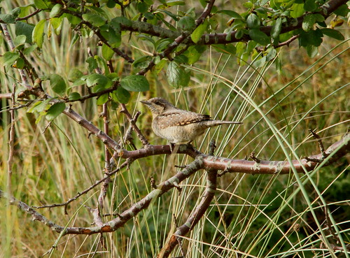 """Wryneck, Gwithian, 021016, (P.Freestone) • <a style=""""font-size:0.8em;"""" href=""""http://www.flickr.com/photos/30837261@N07/30044200811/"""" target=""""_blank"""">View on Flickr</a>"""