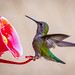 "Green backed hummingbird... • <a style=""font-size:0.8em;"" href=""http://www.flickr.com/photos/41711332@N00/8758947345/"" target=""_blank"">View on Flickr</a>"