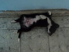 Diablo Puppy 12