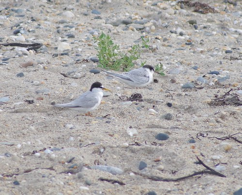 """Little Terns, Marazion, 18.08.16 (A.Nicholson) • <a style=""""font-size:0.8em;"""" href=""""http://www.flickr.com/photos/30837261@N07/29499622723/"""" target=""""_blank"""">View on Flickr</a>"""