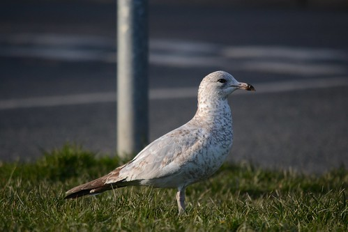 """Ring-billed Gull, Falmouth, 04.03.15 D.Jones • <a style=""""font-size:0.8em;"""" href=""""http://www.flickr.com/photos/30837261@N07/16535267960/"""" target=""""_blank"""">View on Flickr</a>"""