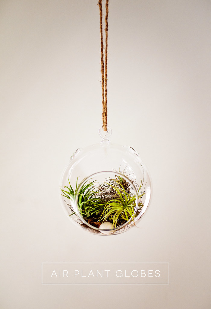 Tillandsia Air Plant Glass Globe Terrarium Hanging from rope
