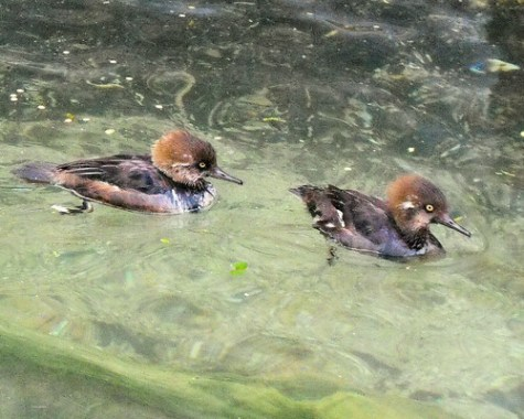 Hooded Mergansers (Lophodytes cucullatus)