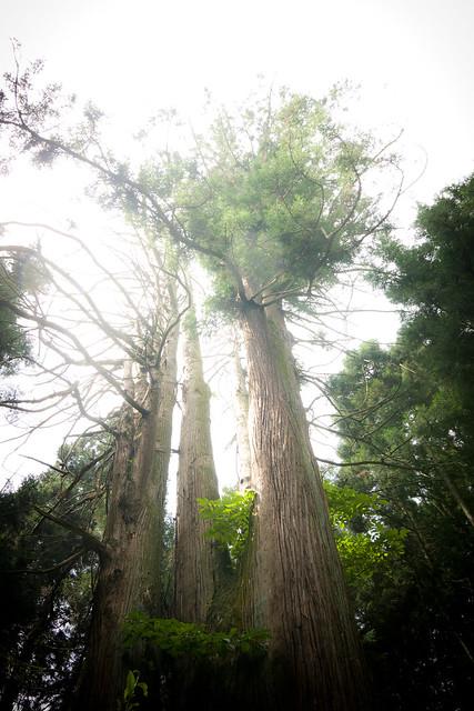 #11 The Giant Cryptomeria of Nikko Shrine
