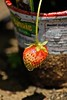 Photo Challenge: 141/366 Strawberry