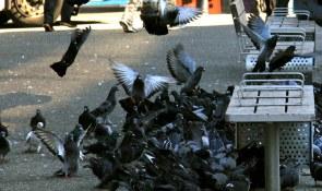 Pigeons on Granville Street