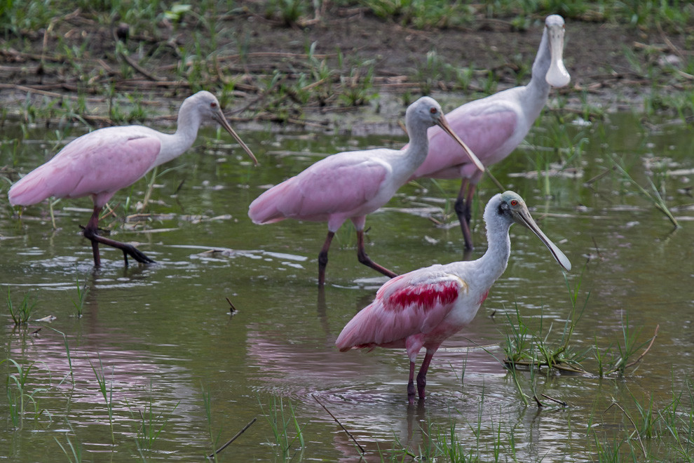 Cientos de especies de aves habitan el ecosistema de la zona del pantanal, en este caso espatulas rosadas (Platalea ajaja). (Tetsu Espósito)
