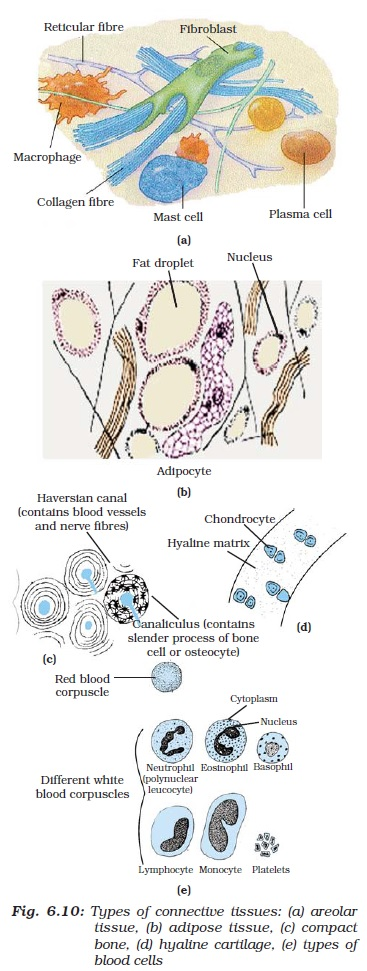 NCERT Class IX Science Chapter 6 Tissues Image by AglaSem