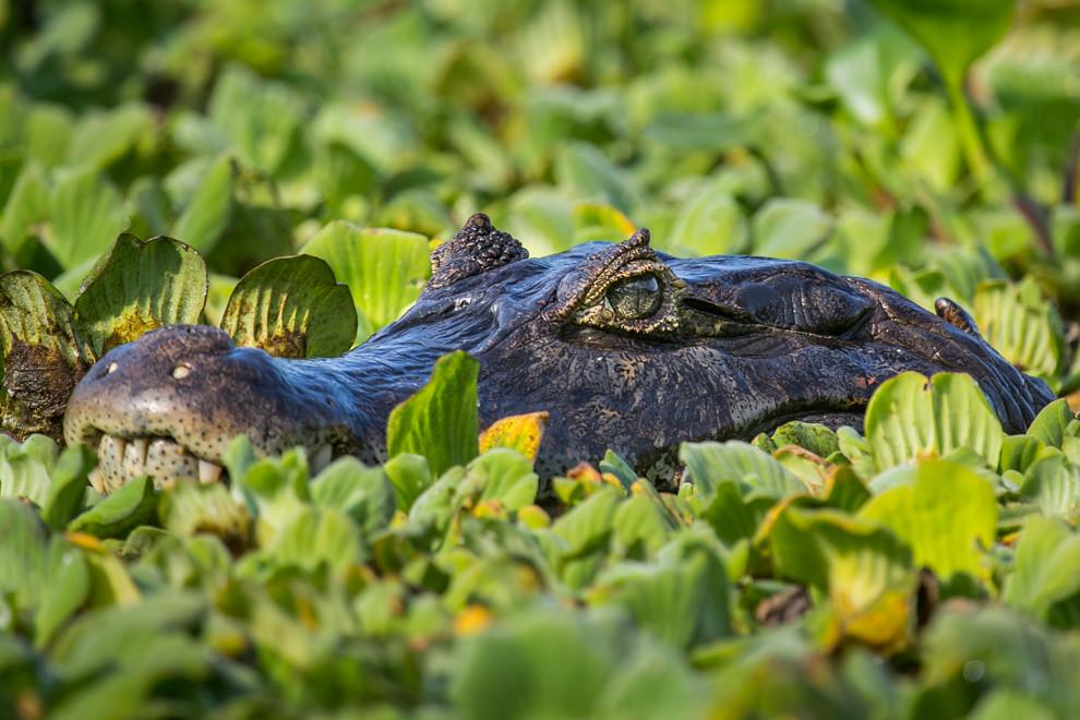 Un enorme Yacaré hu (Caiman yacare) descansa entre los camalotes del Río Negro. La dieta del yacaré negro es exclusivamente carnívora; ingiere principalmente caracoles y otros moluscos y crustáceos, además de peces, a los que acecha inmóvil con la boca abierta para tragarlos cuando se ponen a su alcance. El yacaré negro alcanza los 2,5 m normalmente de tamaño adulto. (Tetsu Espósito).