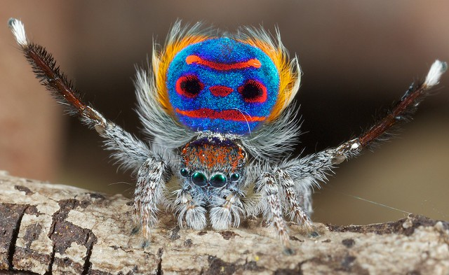 8150001846 31bc2d8827 z amazing Peacock spider