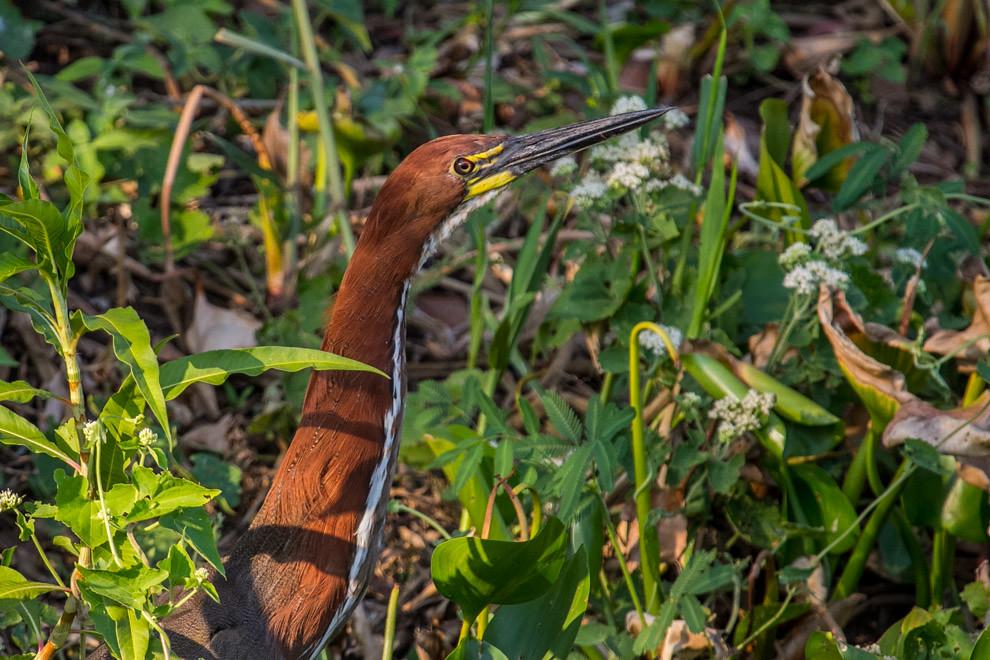 Ejemplar de Hoko colorado (Tigrisoma lineatum) se encontraba alimentándose a orillas del río. (Tetsu Espósito)