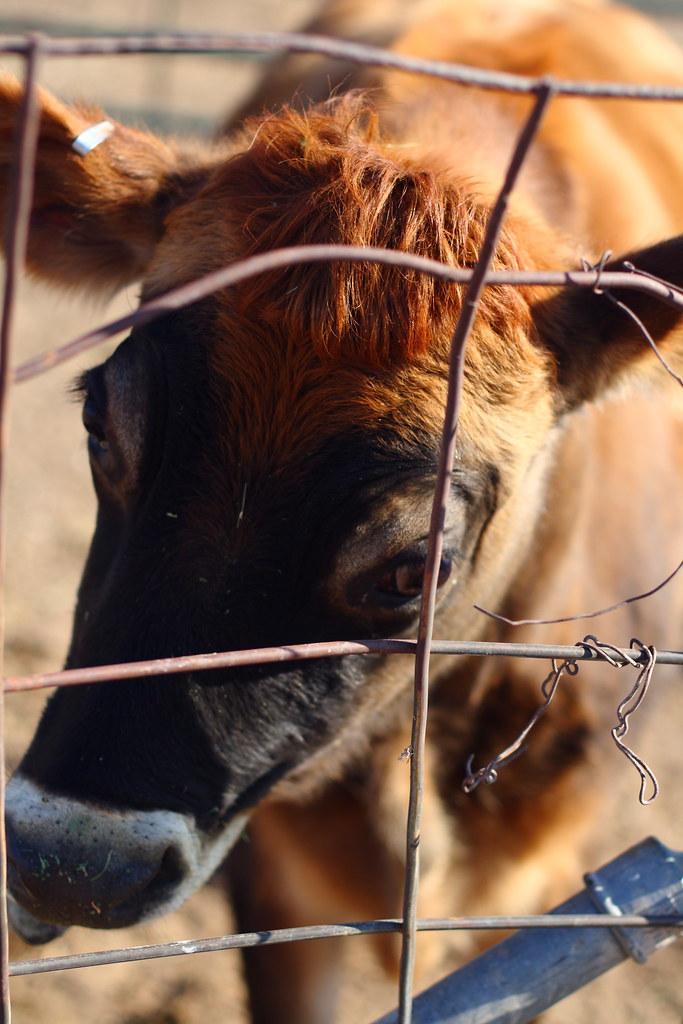 Pretty the cow
