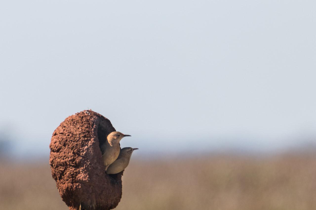 Una pareja de horneros trabaja arduamente para terminar el nido, que vuelven a construir todos los años, quedando el que utilizaron para refugio de otras especies de aves. (Tetsu Espósito).