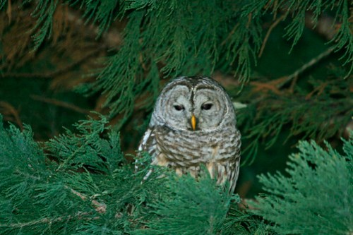 Barred Owl2