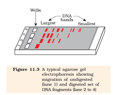 NCERT Class XII Biology Chapter 11 : Biotechnology Principles and Processes Image by AglaSem