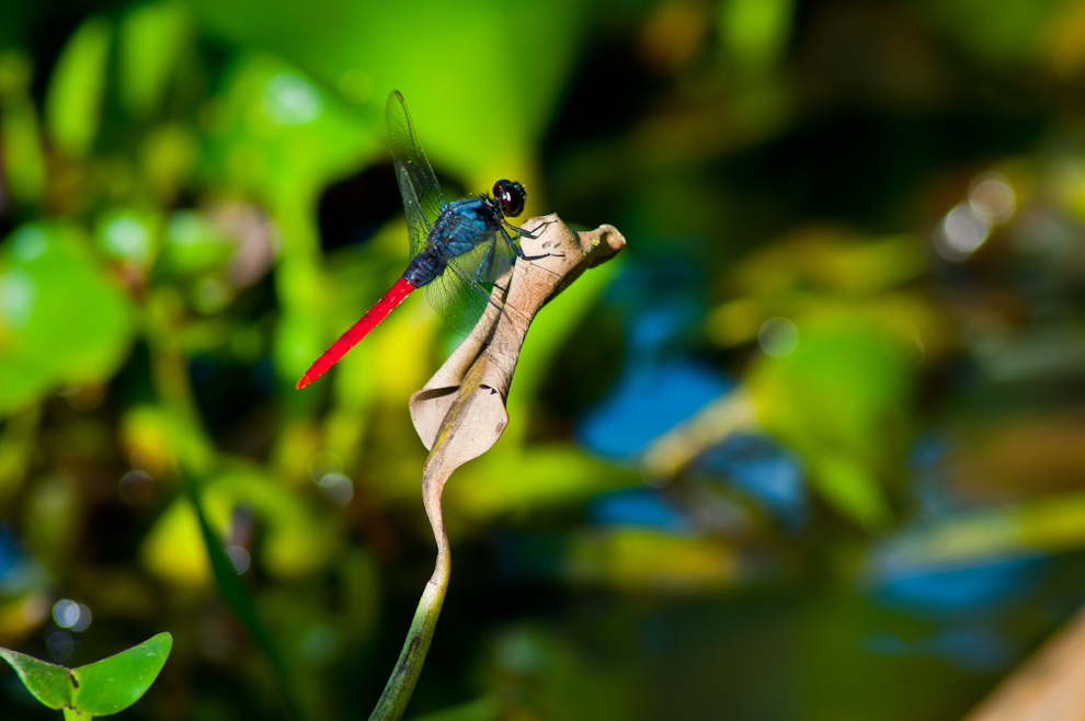 Una especie de Libélula con una llamativa cola roja se posa en una hoja seca entre los camalotes de la orilla del Río Paraguay, en la zona cercana al Puerto Yakaré, donde paramos para hacer distintas fotografías de las especies que habitan en esta localidad. (Elton Núñez)