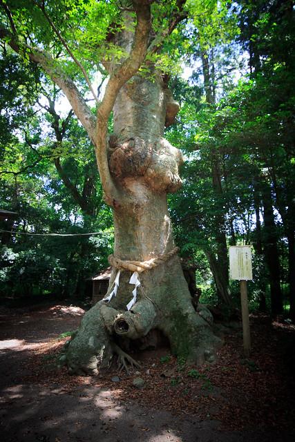 #46 The Sacred Zelkova of Nakamura Hachiman Shrine
