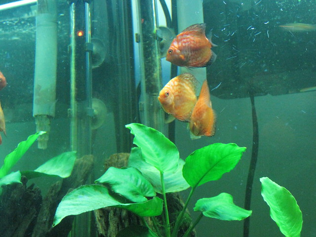 DISCUS FISH | Flickr   Photo Sharing!