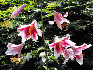 Star Gazer Lilies