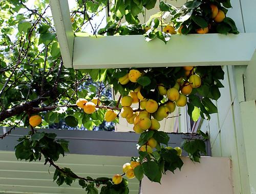 Apricot Harvest 2012