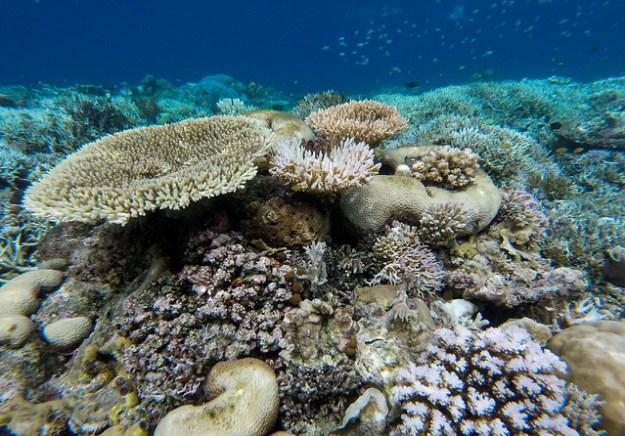 Coral bombie. Reef 1