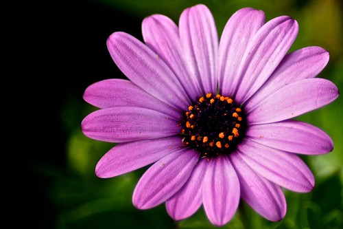 Weekly Photo (5/52) Purple Daisy by Kristen Koster on Flickr