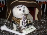 Caveman Dog w/ Bones   Flickr - Photo Sharing!