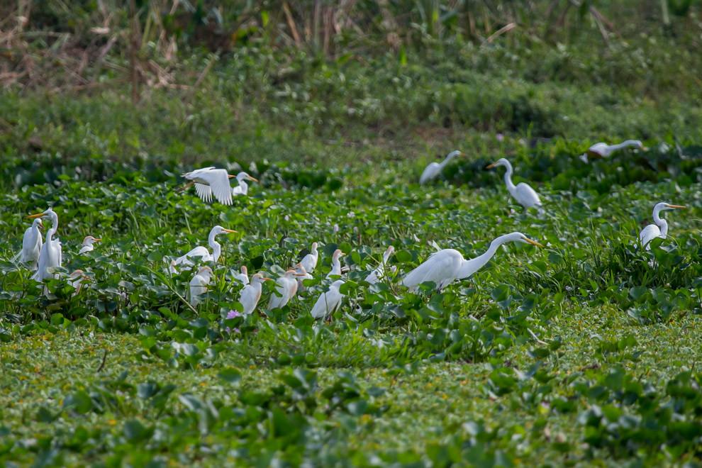 Cientos de garzas blancas (Ardea alba) y garcitas bueyeras (Bubulcus ibis) se alimentaban a la orilla del Río Negro pescando y comiendo insectos entre los camalotes. (Tetsu Espósito)
