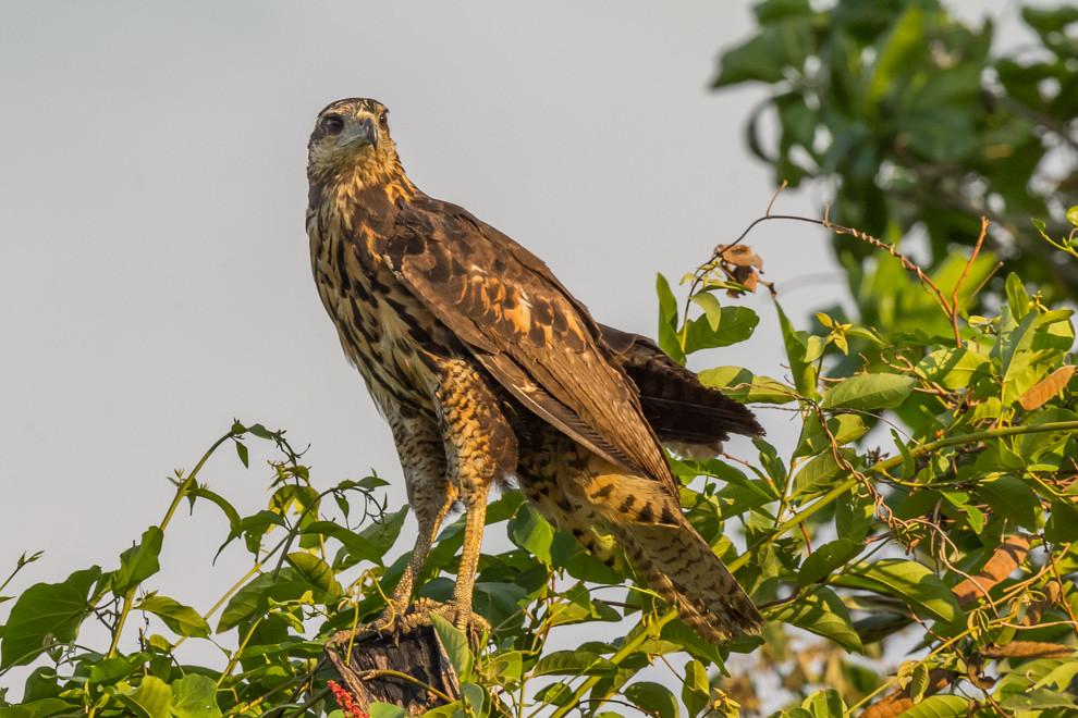 Juvenil de aguila posaba sobre un árbol, por el plumaje aún no es posible determinar a que especie corresponde.(Tetsu Espósito)