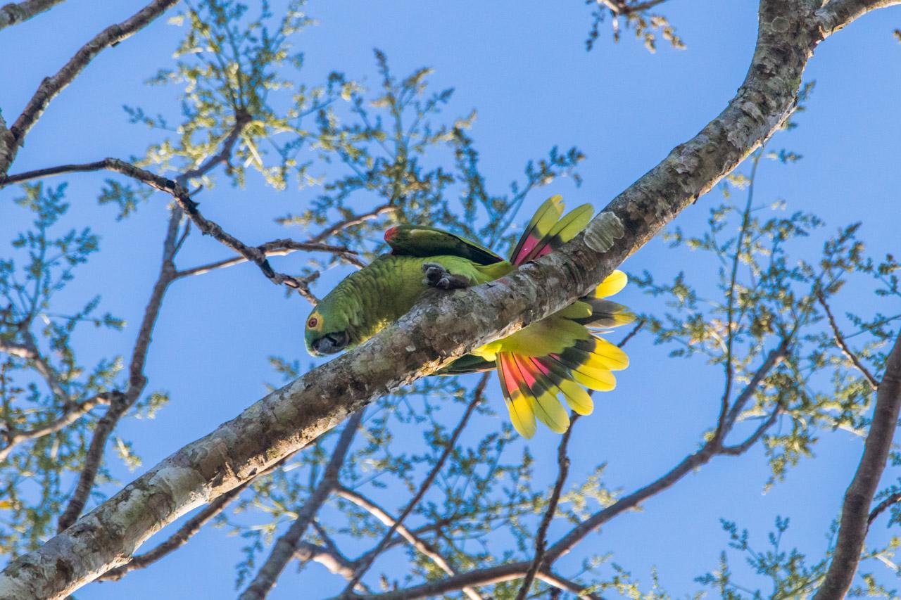 El loro hablador chaqueño (Amazona aestiva xanthopteryx) realiza una danza de apareamiento en la copa de un árbol, dejando ver su colorido plumaje. (Tetsu Espósito)