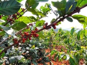 Kaffeeplantage in Dalat