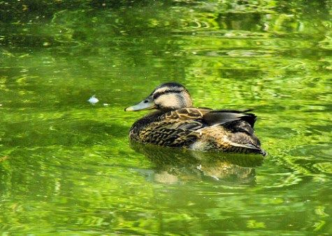 Wild Mallard Duck