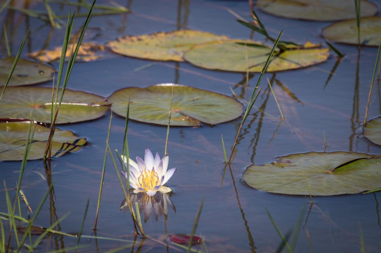 Dentro de la reserva se pueden encontrar muchas lagunas, ríos y arroyos, algunas con una gran población de planta acuáticas. (Tetsu Espósito)