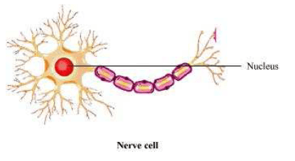 NCERT Solutions for Class 8th Science Chapter 8 Cell Structure and Functions Image by AglaSem