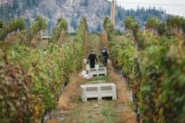 blackhillscabsauvharvest2014-20