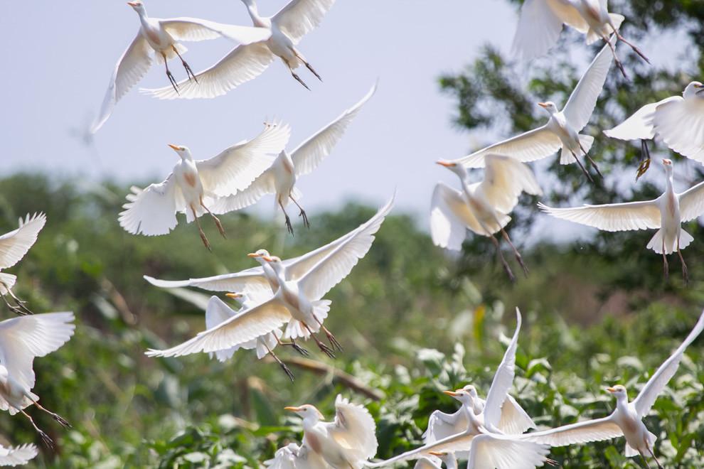 Varios ejemplares de Garcita bueyera (Bubulcus ibis) inician su vuelo, cientos de aves de distintas especies pueden observarse en el pantanal. (Andrea Ferreira)