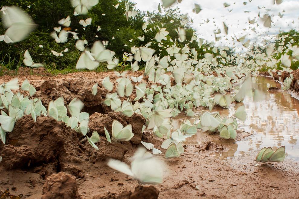 Cientos de mariposas revoloteando cerca de un charco brindan un espectáculo de color. (Andrea Ferreira)
