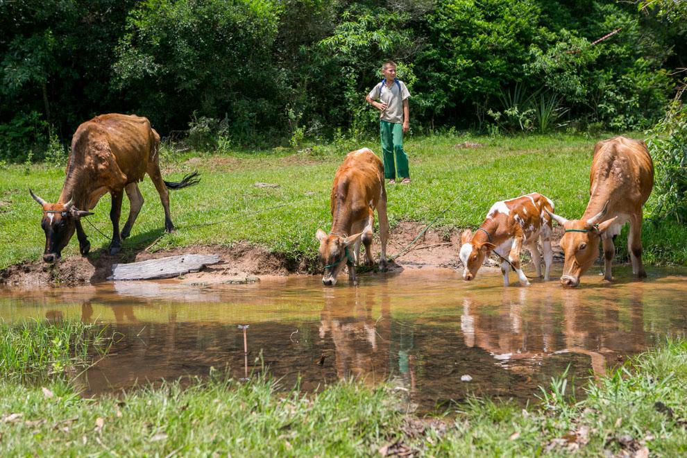 Un niño lleva vacas con sus crías a beber agua a un arroyo, a metros de uno de los tantos puestos de control en la zona de Paraguarí, donde se realizaba la carrera. (Tetsu Espósito).