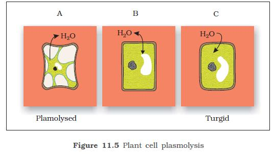 NCERT Class XI Biology: Chapter 11   Transport in Plants