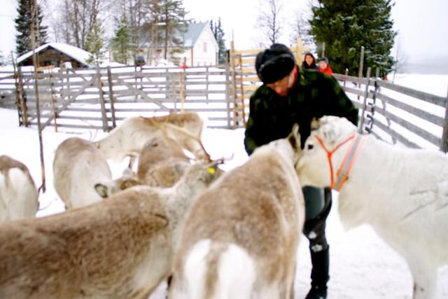 Reindeer farmer hand feeding his reindeer near Iso-Syöte, Finland