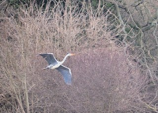 Grey Heron DSC_0767