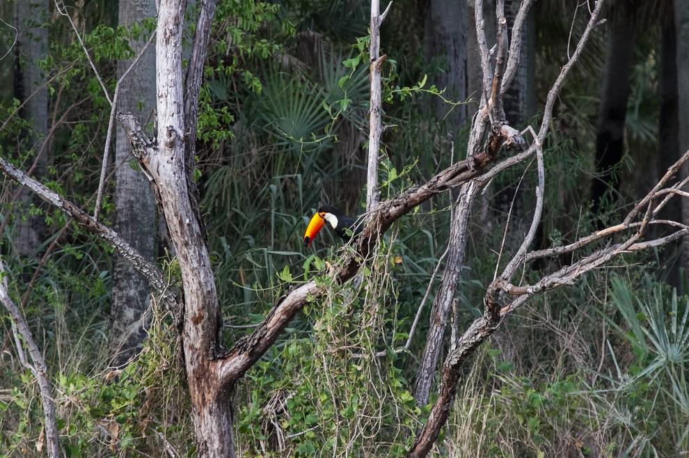 Los ranfástidos (Ramphastidae), conocidos vulgarmente como tucanes, son una familia de aves piciformes que se caracterizan por poseer un pico muy desarrollado y de vivos colores. Miden entre 18 y 63 cm, siendo el tucán toco (Ramphastos toco) el de mayor tamaño. El nombre de este grupo de aves procede del tupi tucana, a través del francés. (Tetsu Espósito)