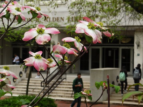 Dogwood in front of Wolfe Garden at Alden Library by volsinohio